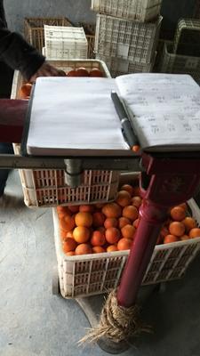 湖南湘西龙山县纽荷尔脐橙 55mm以下 4两以下