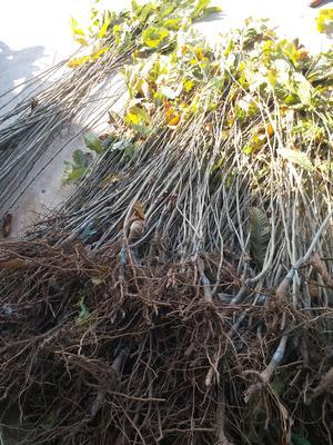这是一张关于大红袍板栗苗 嫁接苗 0.5~1米的产品图片