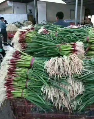 山东济宁鱼台县红根蒜苗 40 - 45cm