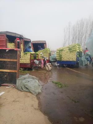 河南省郑州市中牟县法国皇后芹菜 40~45cm 大棚种植 0.5斤以下