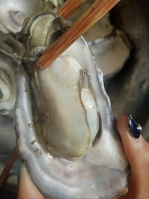 江苏连云港赣榆区山东乳山牡蛎 野生 3-5只/公斤