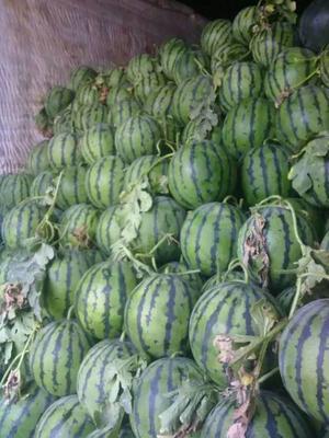 这是一张关于京欣西瓜苗的产品图片