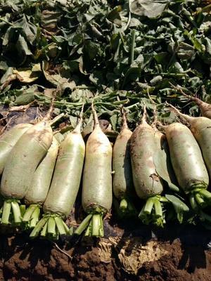 内蒙古自治区乌兰察布市兴和县青皮绿萝卜 1.5~2斤