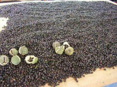 这是一张关于文冠果树苗 1.0~1.5米的产品图片