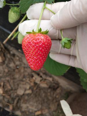 河南郑州中牟县美国甜查理草莓 20克以下