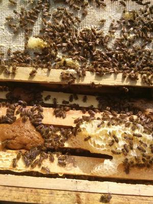 广西玉林北流市中华蜜蜂