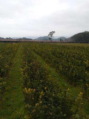 这是一张关于大树茶苗 嫁接苗 0.5米以下的产品图片