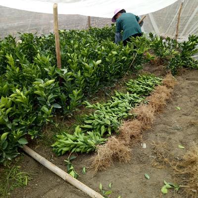 这是一张关于赣南早脐橙苗 嫁接苗 1~1.5米的产品图片