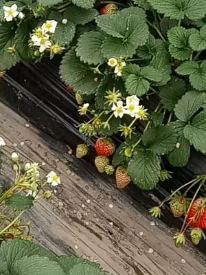 四川成都彭州市红颜草莓 20克以下