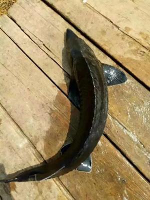 这是一张关于西杂鲟鱼 人工殖养 2-4龙8国际官网官方网站的产品图片