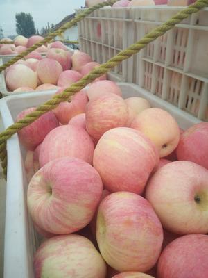山东临沂沂水县冰糖心苹果 纸袋 条红 75mm以上