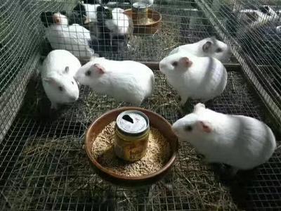 江西宜春高安市生态黑豚鼠