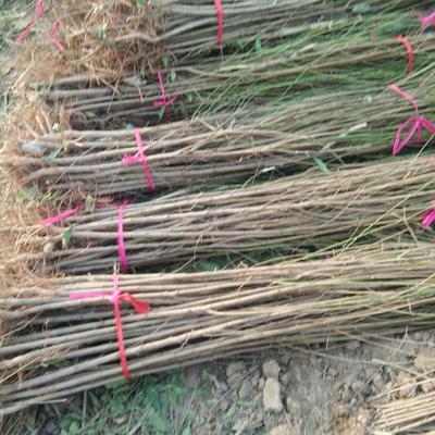 河南周口西华县毛桃苗 1~1.5米