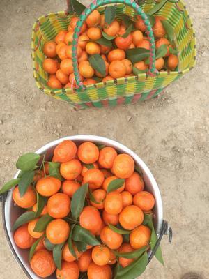 广西桂林永福县沙糖桔 4 - 4.5cm 1两以下