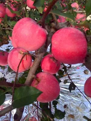 山东烟台栖霞市红富士苹果 纸袋 条红 85mm以上