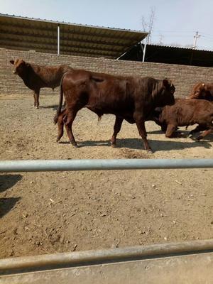 这是一张关于利木赞牛 200斤以下 母牛的产品图片