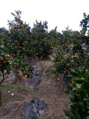这是一张关于纽荷尔脐橙苗 嫁接苗 0.5~1米的产品图片