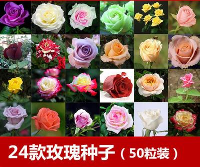 四季玫瑰 多彩
