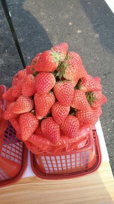江苏南通如皋市红颜草莓 20克以下