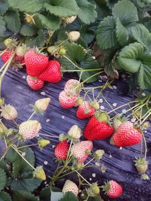辽宁大连庄河市幸香草莓 20克以下