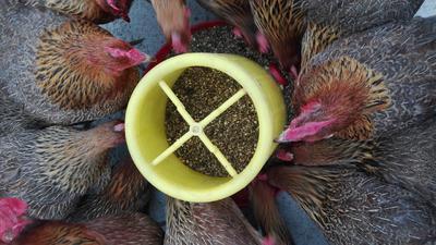 江西抚州乐安县土鸡 统货 12月以上 全散养 3-4斤