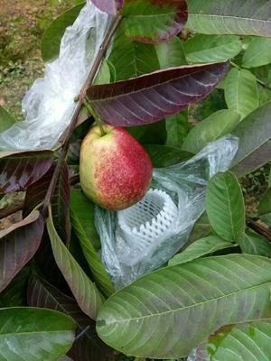 这是一张关于红心芭乐番石榴苗的产品图片