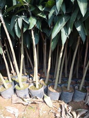这是一张关于金煌芒果苗的产品图片