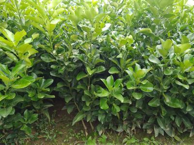 这是一张关于贡水白柚苗的产品图片
