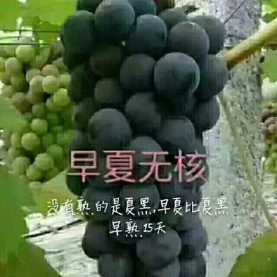 这是一张关于夏黑葡萄苗的产品图片