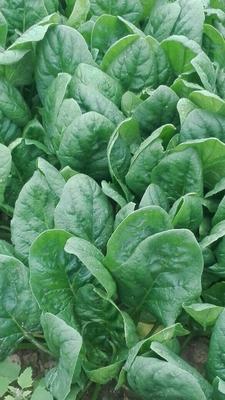 陕西省西安市高陵县春菠菜 10~15cm