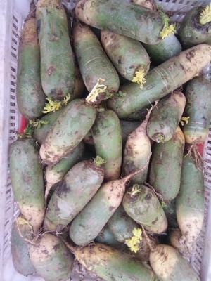 山东省青岛市即墨市青皮萝卜 0.2~1斤