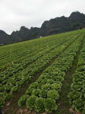 湖南省怀化市通道侗族自治县大毛边白菜 2~3斤 毛菜