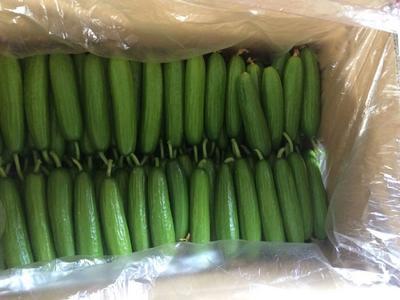 这是一张关于小黄瓜 18cm以下 鲜花带刺的产品图片