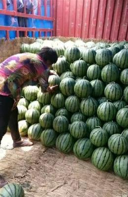 山东省德州市齐河县京欣西瓜 有籽 1茬 8成熟 6斤打底
