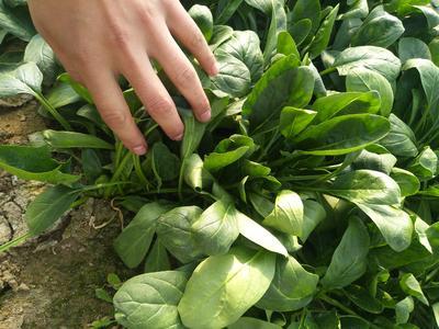 山东省滨州市惠民县越冬菠菜 20~25cm