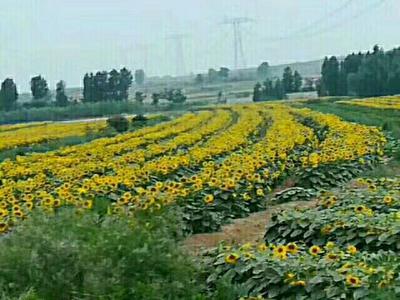 河北省邯郸市磁县有机葵花籽油
