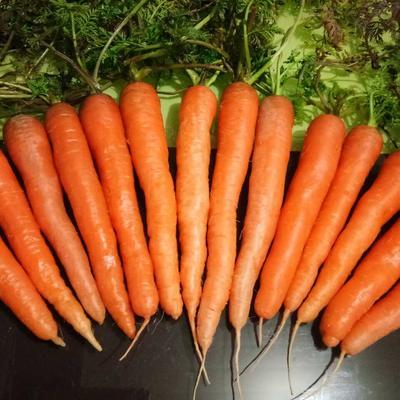 安徽省淮北市濉溪县日本红星胡萝卜 15cm以上 2两以上 3~4cm