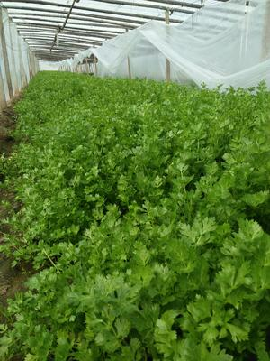 山东省菏泽市单县香芹 40~45cm 大棚种植 0.5斤以下