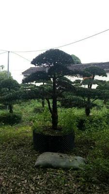广西壮族自治区桂林市平乐县中叶罗汉松