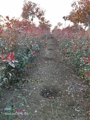 安徽省滁州市定远县红叶石楠篱笆苗
