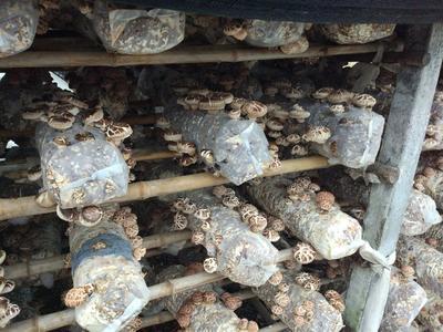 湖北省武汉市江夏区花菇 3.0 - 3.5cm 一级