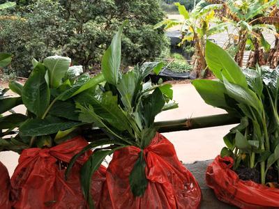 广西壮族自治区钦州市灵山县巴西香蕉苗