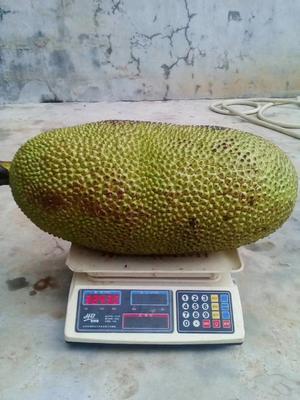海南省三亚市天涯区海南菠萝蜜 10-15斤