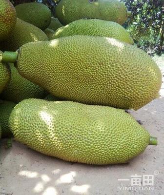 安徽省亳州市谯城区海南菠萝蜜 10-15斤