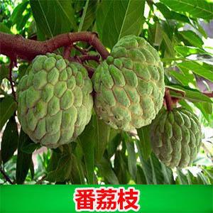 广西壮族自治区钦州市灵山县刺果番荔枝苗