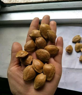 新疆维吾尔自治区哈密地区哈密市甜杏仁 12-18个月 散装