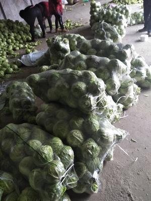湖北省天门市天门市旺旺甘蓝 0.5~1.0斤