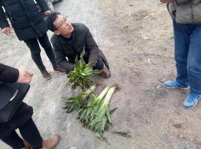 安徽省淮北市烈山区红叶莴笋 50-60cm 2斤以上
