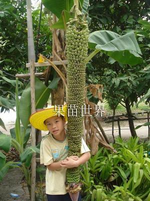 广西壮族自治区钦州市灵山县皇帝蕉苗