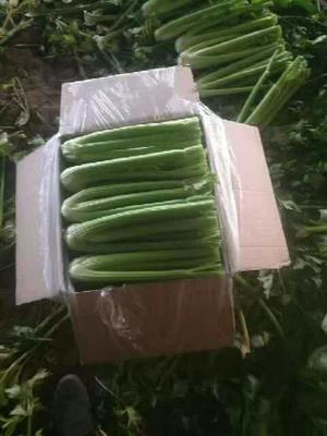 河北省邯郸市永年县西芹 60cm以上 大棚种植 1.0~1.5斤